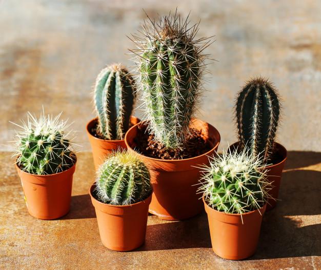 แหล่งรวมความรู้เกี่ยวกับ กระบองเพชร (แคคตัส Cactus)